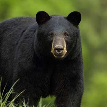 observation des ours noir et du castor au saguenay lac st jean - animaux totalement sauvage dans le foret