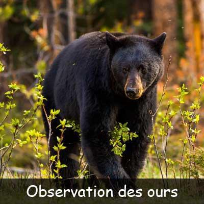 L'observation de l'ours noir sauvage et des castors en plene nature au saguenay lac saint jean avec des petits groupes de maximum 8 personne à la fois afin d'offrir une expérience sur mesure. Nous vous offrons des observations d'ours et du castor sauvage dans son milieu nature accompagné de guide naturaliste ultra passionné. La place au saguenay lac st jean pour l'observation de la faune sauvage