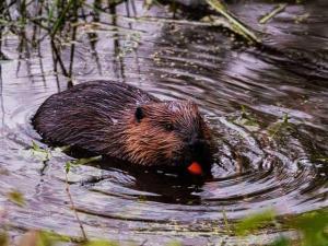 Observatoire--castor-sauvage-barrage-beaver-quebec