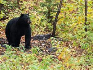 Observatoire-ours-noir-quebec-lacsaint-jean-activité-touristique