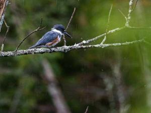 observatoire--martin-pecheur-observation-oiseau-sauvage-lacsaintjean